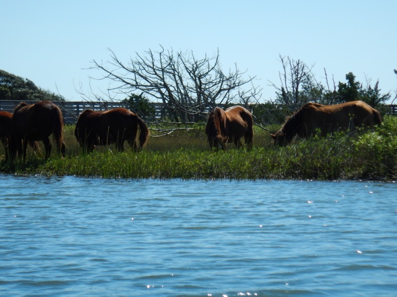 Wild Horses of Carrot Island, Beaufort, NC